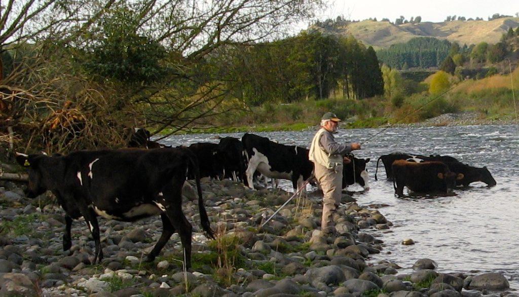 Murray & cows